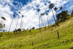 Rural colombia. An old fence with wax palms in pasture land in Tolima, Colombia stock image