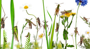 Rural composition of Locust and grasshopper Stock Photography