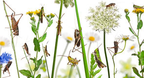 Rural composition of Locust and grasshopper Royalty Free Stock Photos