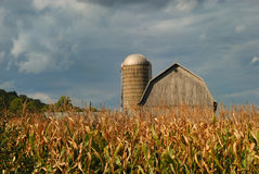Rural cornfield Stock Photography