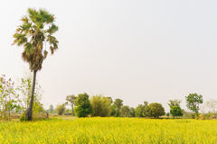 Rural cornfield with palm. Tree Stock Image