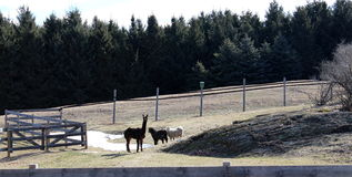 Petting zoo with llamas and fences Royalty Free Stock Photos