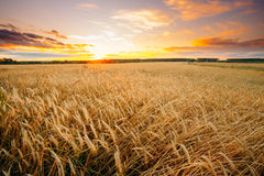 Rural Countryside Wheat Field At Sunset Sunrise Background. Colo Royalty Free Stock Photography