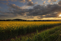 Rural counttryside landscape and golden canola. Rural landscape and fields of golden canola catch the last rays of sunlight.  Cowra Australia Royalty Free Stock Photography