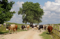 Rural cows. The herd of rural cows goes along the road Stock Image
