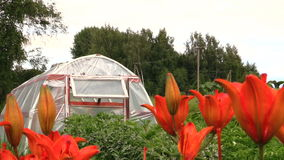 Rural dark orange lily flowers and greenhouse in country stock footage