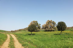 Rural dirt road and olive trees Stock Image