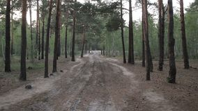 Rural dirt road among pine forest in summer stock footage