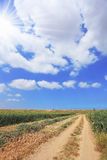 Rural dirt road between the wheat fields Royalty Free Stock Photo