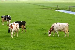Rural Dutch polder landscape with cows & grassland Stock Image