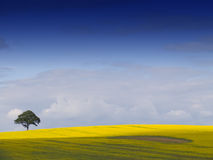 Rural English Landscape. Looking over a rural English landscape of yellow rapeseed, to a tree on the horizon, beneath a dramatic blue sky with fluffy white stock image