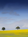 Rural English Landscape. Looking over a rural english landscape of yellow rapeseed, to a tree on the horizon, beneath a dramatic blue sky with fluffy white royalty free stock image