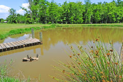 Rural farm duck pond Royalty Free Stock Photography
