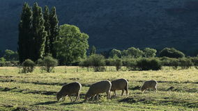 Rural farm landscape. Rural landscape with trees, pasture and grazing sheep in late afternoon light, Karoo region, South Africa stock video footage