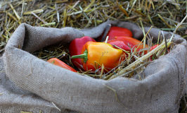 Rural farm natural organic autumn pappers on sack Stock Photo
