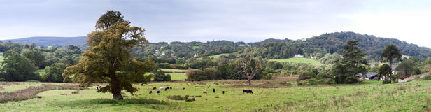 Rural Farmland in Devon near Dartmoor. Panoramic view of farmland in Devon England looking towards Dartmoor with cows in the foreground and sheep grazing in royalty free stock images