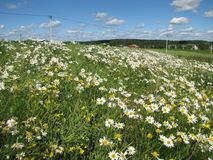 Rural field with daisies Stock Photography