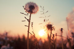 Rural field and dandelion Stock Photography