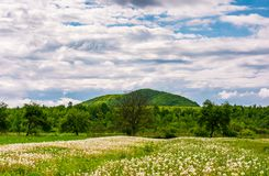 Rural field of dandelions in springtime. Beautiful agriculture scenery on a cloudy day Royalty Free Stock Photo