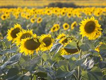 Rural field with flowering sunflowers royalty free stock image