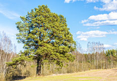 Rural field and forest with lonely pine Royalty Free Stock Photos