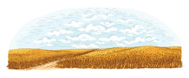Rural field with ripe wheat on background of clouds. Vector. Illustration vector illustration