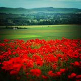 Rural field scene in Wiltshre with Poppies stock photo