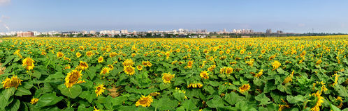 Rural field with sunflowers. Royalty Free Stock Photo