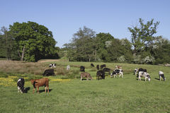 Rural field with a variety cows grazing surrounded Stock Image
