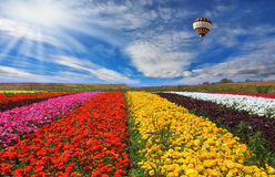 The rural fields with flowers Stock Photography