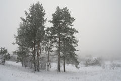 Rural foggy landscape with pines Stock Photo