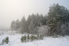 Rural foggy landscape with pines Stock Photos
