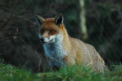 Red  Fox. Red Fox in natural habitat at Springtime Stock Images