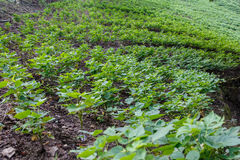 Rural frijoles field from Nicaragua Royalty Free Stock Images