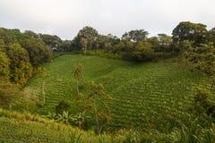Rural frijoles field Stock Photo