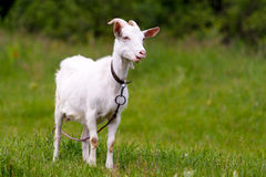 Rural goat grazing in a green field. Royalty Free Stock Photography