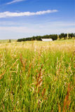 Rural Grass Field with Background Barn royalty free stock image