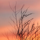 Rural grass and sunset sky. Black silhouette Royalty Free Stock Photo
