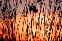 Rural grass and sunset sky. Black silhouette Royalty Free Stock Image
