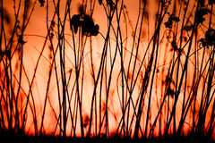 Rural grass and sunset sky. Black silhouette Stock Photography