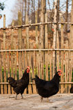 Rural hen pictures Stock Images
