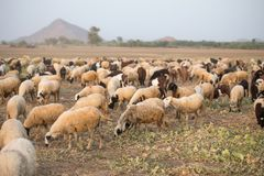 Rural Herding. Flock of sheeps in field for eating grass stock images