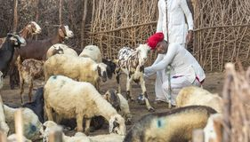 Rural Herding. Rajasthani tribal man wears traditional colorful casual and Taking the goat`s milk stock image