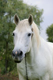 Rural horse  of the white color Stock Images
