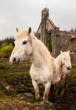 Rural horses in Ireland Royalty Free Stock Photography