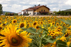 Rural house and a field of sunflowers Royalty Free Stock Photos