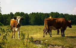 Rural idyll cow interest  forest field Royalty Free Stock Photo