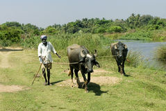 Rural India- Farmer with pair of domestic buffaloes Royalty Free Stock Photo