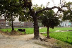 Rural Indian Village with Bull Stock Photo