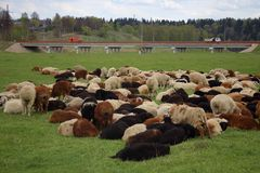 Rural and industrial. Lambs grazing near a highway stock photo